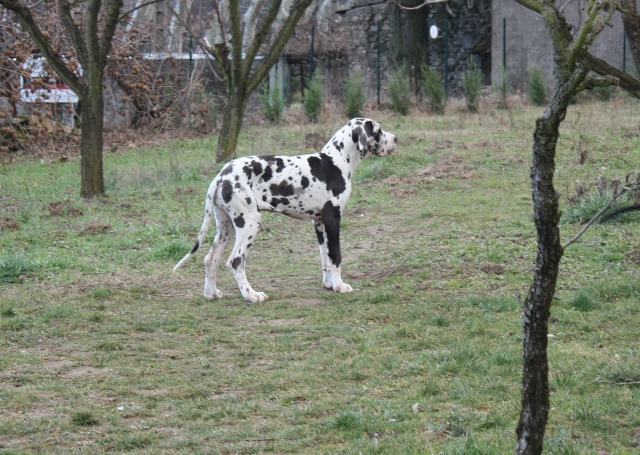 chiens-dogue-allemand-0ec197ff-eb9c-8c04-a16f-2258340ebaea.jpg